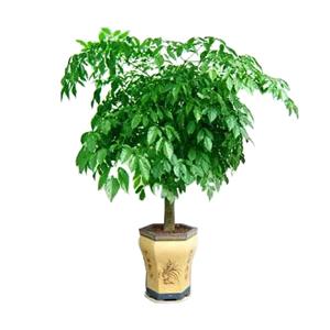 商业用花/幸福树:幸福树 花 语: